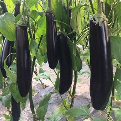 绿把紫黑长茄苗育苗厂