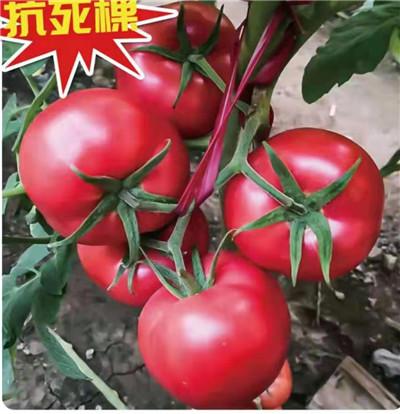 洛奇 西红柿种苗