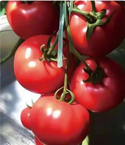 莱顿 抗病毒西红柿种苗厂家