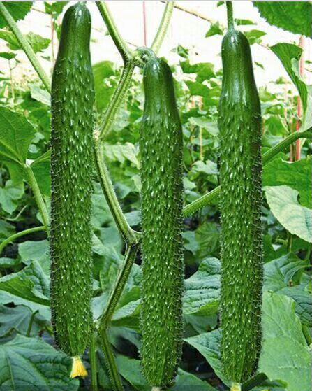黄瓜1061品种