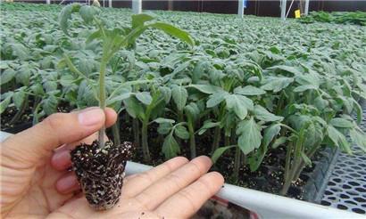 西红柿苗育苗基地