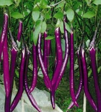 线茄种子种苗 紫红色杭茄种苗