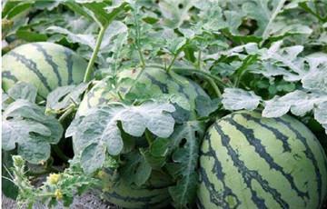 西瓜苗优质