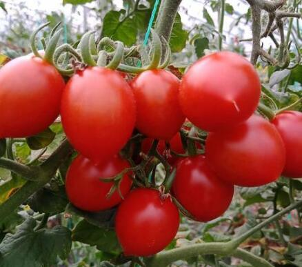 釜山88小番茄苗哪有,寿光釜山88苗基地