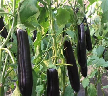茄子苗育苗厂秋延品种有哪些