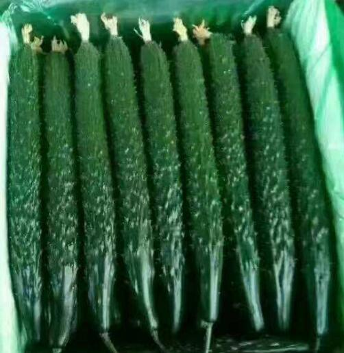 越夏耐热黄瓜苗品种——德瑞特65黄瓜种子