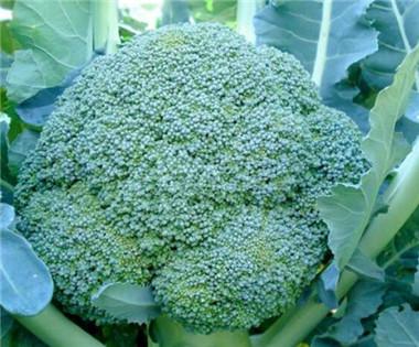 炎秀西兰花——耐热西兰花种子/种苗