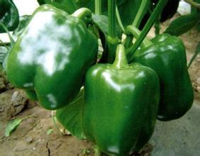 圆椒种苗——甜椒品种