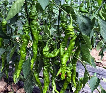 螺丝椒——大果螺丝椒种子/种苗