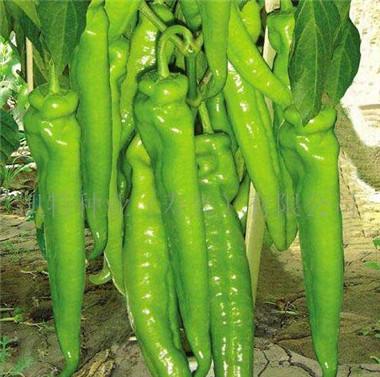 尖椒种苗——黄绿皮尖椒苗品种