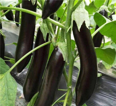 绿把长茄苗——布丽塔/765茄子种苗