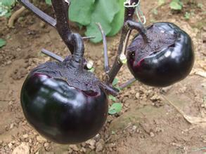 黑宝茄子苗——亮黑圆茄品种