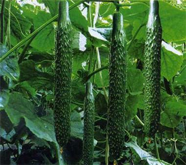 黑油亮黄瓜种苗培育基地