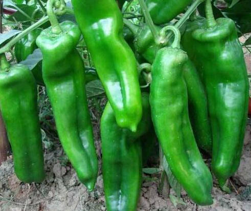 辣椒种苗育苗场,寿光辣椒培育苗厂品种