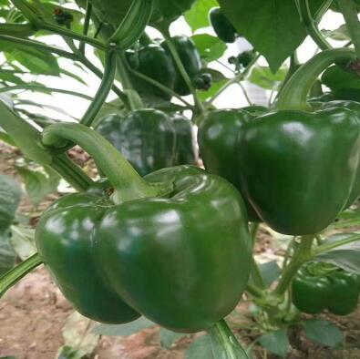 太空椒种苗价格,育辣椒苗苗场品种