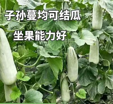 博洋61甜瓜种苗