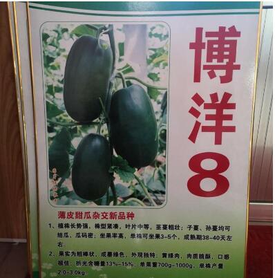 博洋8甜瓜苗 高甜度甜瓜苗品种
