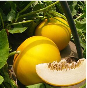 黄皮甜瓜苗品种 伊丽莎白甜瓜苗