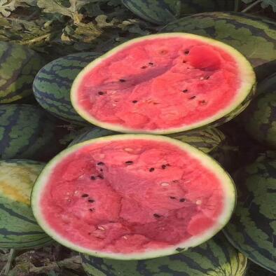 甜王西瓜苗育苗厂 早春西瓜品种甜度高